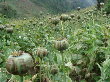 opium field in Sa Don area