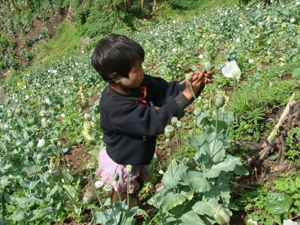a child is extracting raw opium