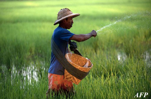 A farmer sprinkles fertilizer on his rice field in Bago District, northeast of Rangoon. Photo: AFP