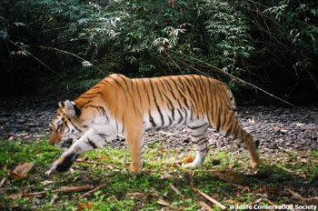 A tiger trips a remote camera placed next to an animal corridor in the Hukawng Valley tiger reserve in Kachin State in northern Burma. Photo: Wildlife Conservation Society