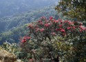 Chin Residents Want Rhododendrons Protected